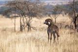Giraffe bei der Morgentoilette - 191968464