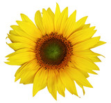 Beautiful sunflower isolated on a white background. - 191972600