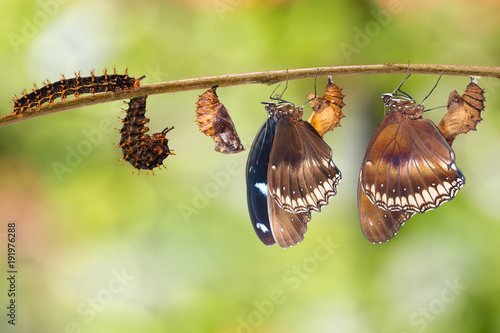 Fotobehang Vlinder Transformation from caterpillar to great eggfly butterfly ( Hypolimnas bolina Linnaeus ) on twig