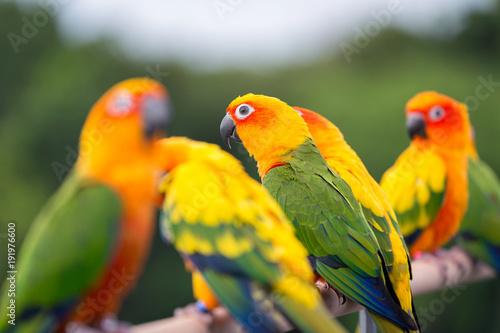 Fotobehang Papegaai Sun Conure parrot