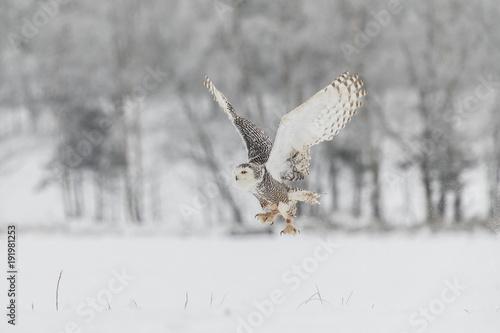 Snowy Owl in Flight over Snow Field