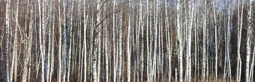 Fotobehang Berkenbos Trunks of birch trees in forest / birches in sunlight in spring / birch trees in bright sunshine / birch trees with white bark / beautiful landscape with white birches
