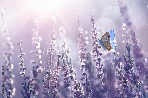 Fotobehang Vlinder Surprisingly beautiful colorful floral background. Heather flowers and butterfly in rays of summer sunlight in spring outdoors on nature macro, soft focus. Atmospheric photo, gentle artistic image.