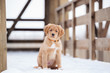 adorable toller puppyposing outdoors in winter