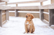 adorable toller puppy sitting outdoors in winter