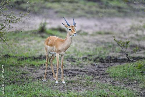 Fotobehang Khaki Antelope
