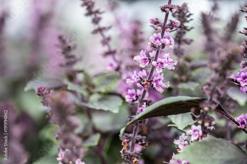 Aluminium Lavendel Medical lavender blooming at nursery