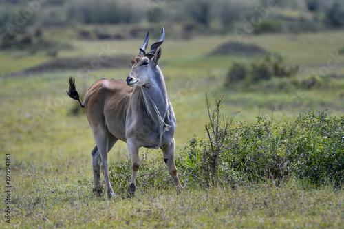 Papiers peints Kaki Antelope