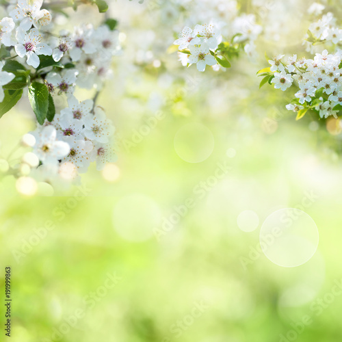 Cherry blossoms with spring background