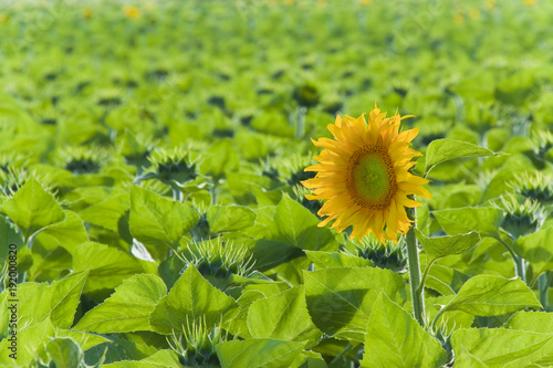 Open sunflower isolated in a field - image with copy space