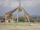 buffalo, animal, willife, nature, hena, lyon, girafe, bear, hipopotamus, zebra, monke, african, safari, tribu, zoo, park, ñu, tiger, selve, elephant, alpaca  - 192002621