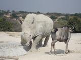 buffalo, animal, willife, nature, hena, lyon, girafe, bear, hipopotamus, zebra, monke, african, safari, tribu, zoo, park, ñu, tiger, selve, elephant, alpaca  - 192003037