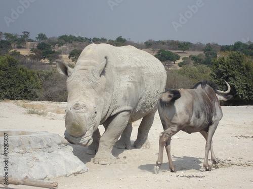Fotobehang Neushoorn buffalo, animal, willife, nature, hena, lyon, girafe, bear, hipopotamus, zebra, monke, african, safari, tribu, zoo, park, ñu, tiger, selve, elephant, alpaca