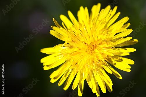 In de dag Geel Wildflowers Dandelions. Spring Flowers