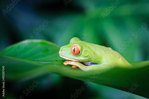 Aluminium Kikker Red Eyed Tree Frog, Costa Rica