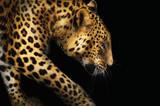 Close-up leopard portrait on dark background - 192021095