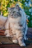Le chat gris sur le toit de la cabanne