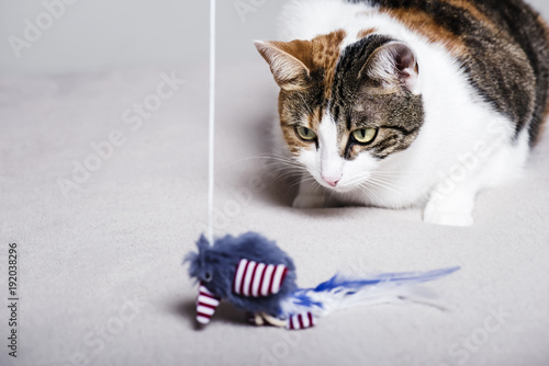 Cute cat playing with a feathered toy