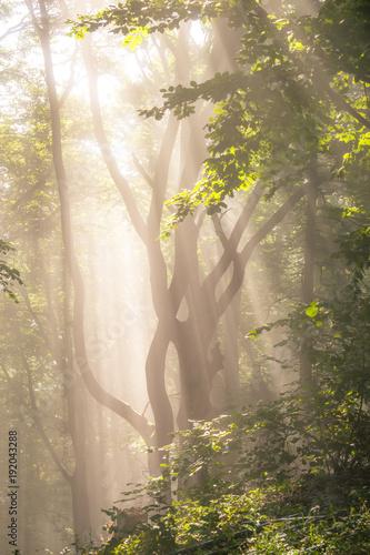 Fototapeta Morning sun rays in forest