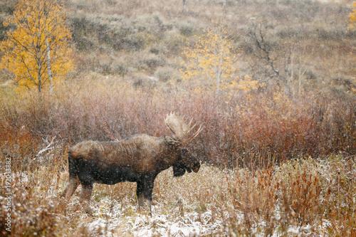 Moose in Snow