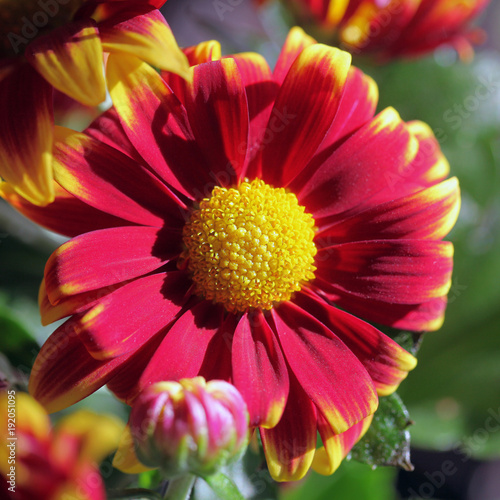 Fotobehang Gerbera colorful red flowers