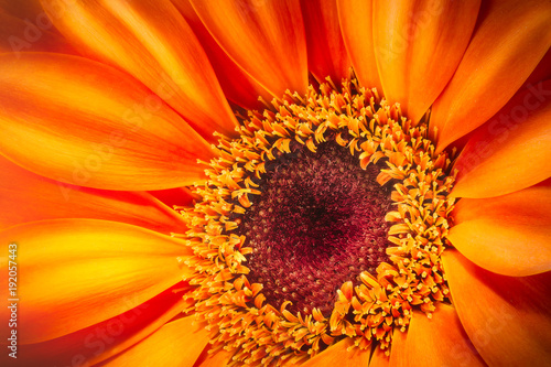 Fotobehang Gerbera Orange gerbera flower isolated on white background