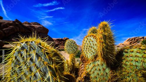 Keuken foto achterwand Honing Wüstenkaktus