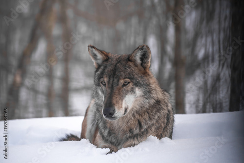 Aluminium Wolf the wolf