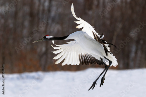 Red-Crowned Crane-6824