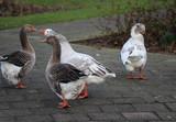 Group greylag goose (Anser anser) in city - 192068447