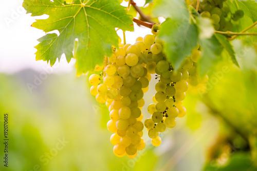 Deurstickers Wijngaard süße saftig reife Weintrauben im Herbst