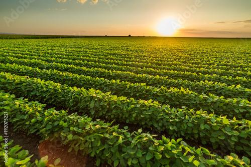 Zielony dojrzenie soi pole, rolniczy krajobraz