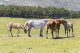 Two mares and two foals at the meadow. Glorious sunny day in the end of the spring. Wild life in Guadarrama mountain range (Madrid - Spain). Lovely and natural scene.  - 192075652
