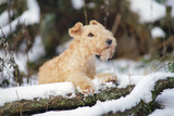 Red Lakeland Terrier dog lying outdoors on a snow-covered fallen tree in winter forest
