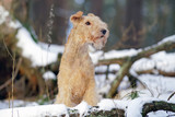 Red Lakeland Terrier dog posing outdoors near snow-covered tree roots in winter forest
