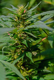 Marihuanablüten - 192078867