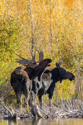 Bull and Cow Shiras Moose in the Fall Rut