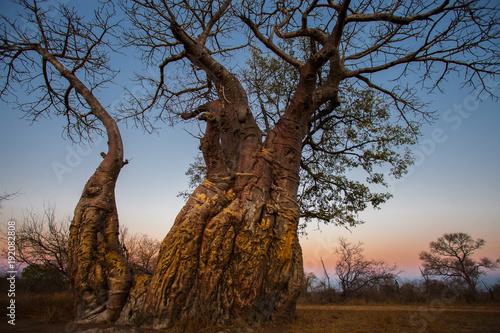 Fotobehang Baobab Afrikanischer Affenbrotbaum Baobab