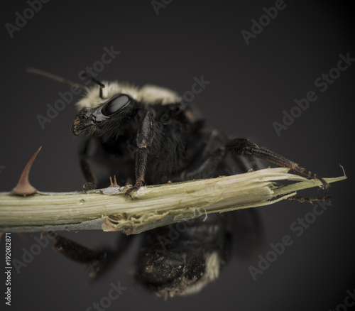 Aluminium Bee Macro shot of a bumble bee on a rose stem