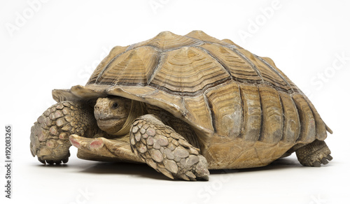 Fotobehang Schildpad Sulcata tortoise on white background 2