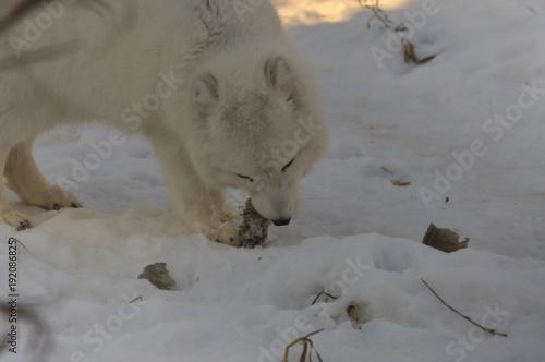 Aluminium Wolf Arctic Fox