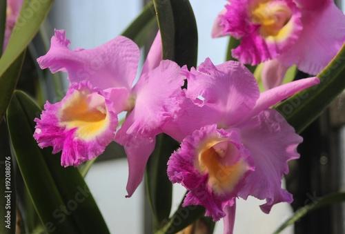 rozowe-i-zolte-orchidee,-zielone-liscie,-kwiaty