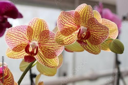 rozowe-i-zolte-orchidee,-kwiaty,-biale-tlo