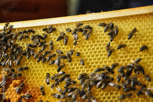 Fotobehang Bee Queen bee surrounded by her workers. Close up of wooden frame with honeycomb and bees.