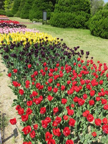 Fotobehang Tulpen チューリップの花壇