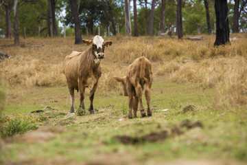Australian cows on the farm during the day.