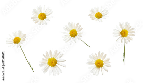 Set of white daisy flowers