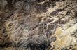 Fragment of cows on stone, petroglyph art. Exposition of Petroglyphs in Gobustan near Baku, Azerbaijan.