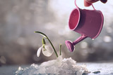 A flower of a snowdrop in melting snow and a small watering can of a watering flower.