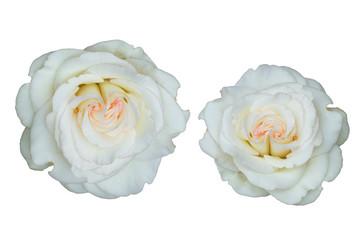 White rose isolated on white background.